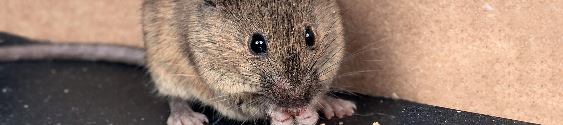 mice in myrtle beach