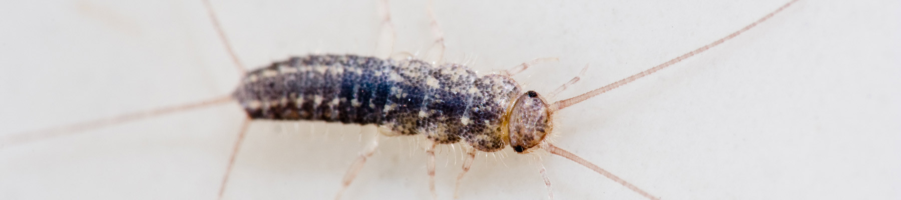 Silverfish problems in sc