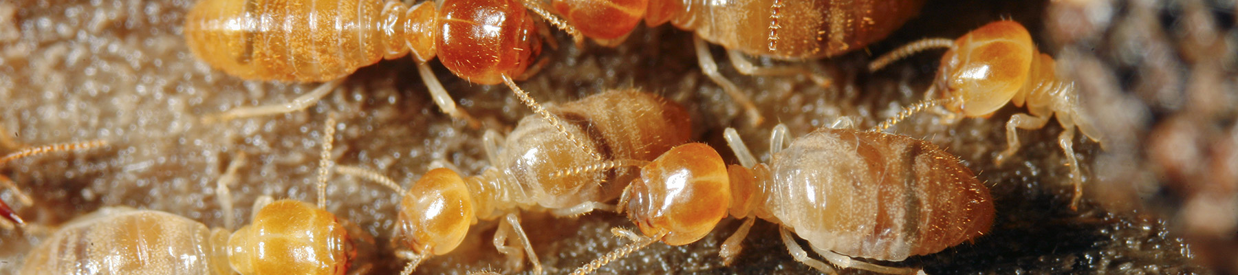 Termites in myrtle beach homes
