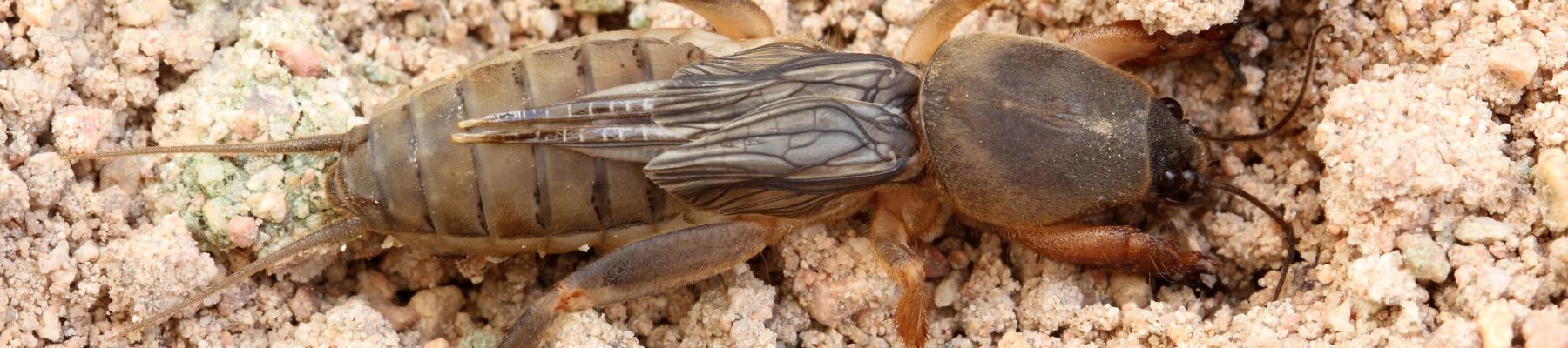 Mole Crickets problem in sc