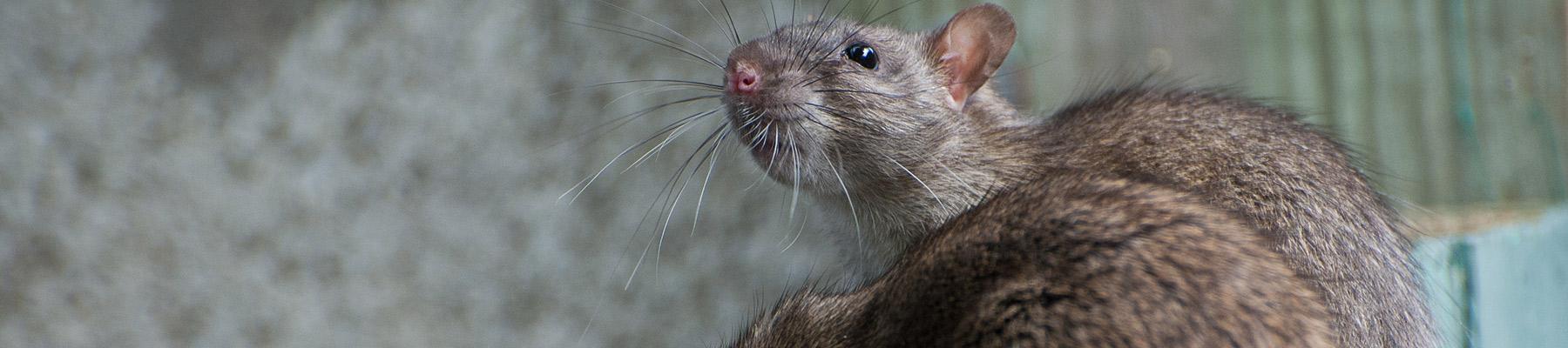 rat problem in sc